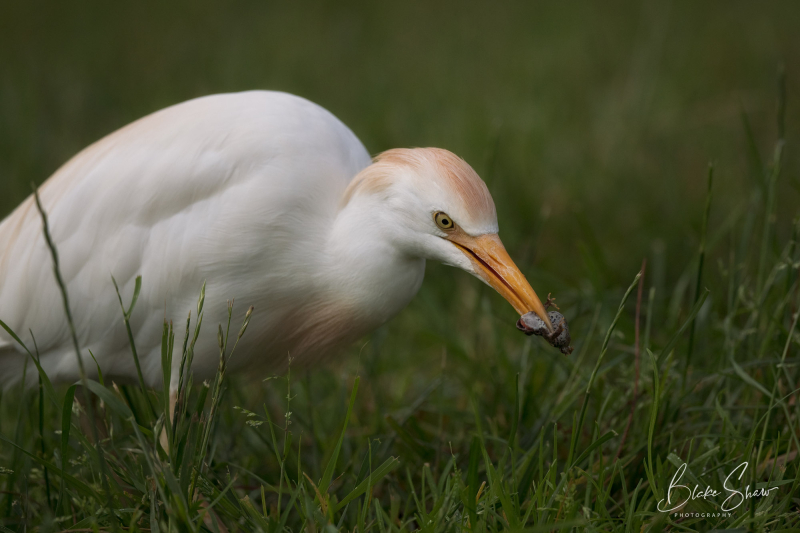 Cattle egret and frog lindo lake blake shaw