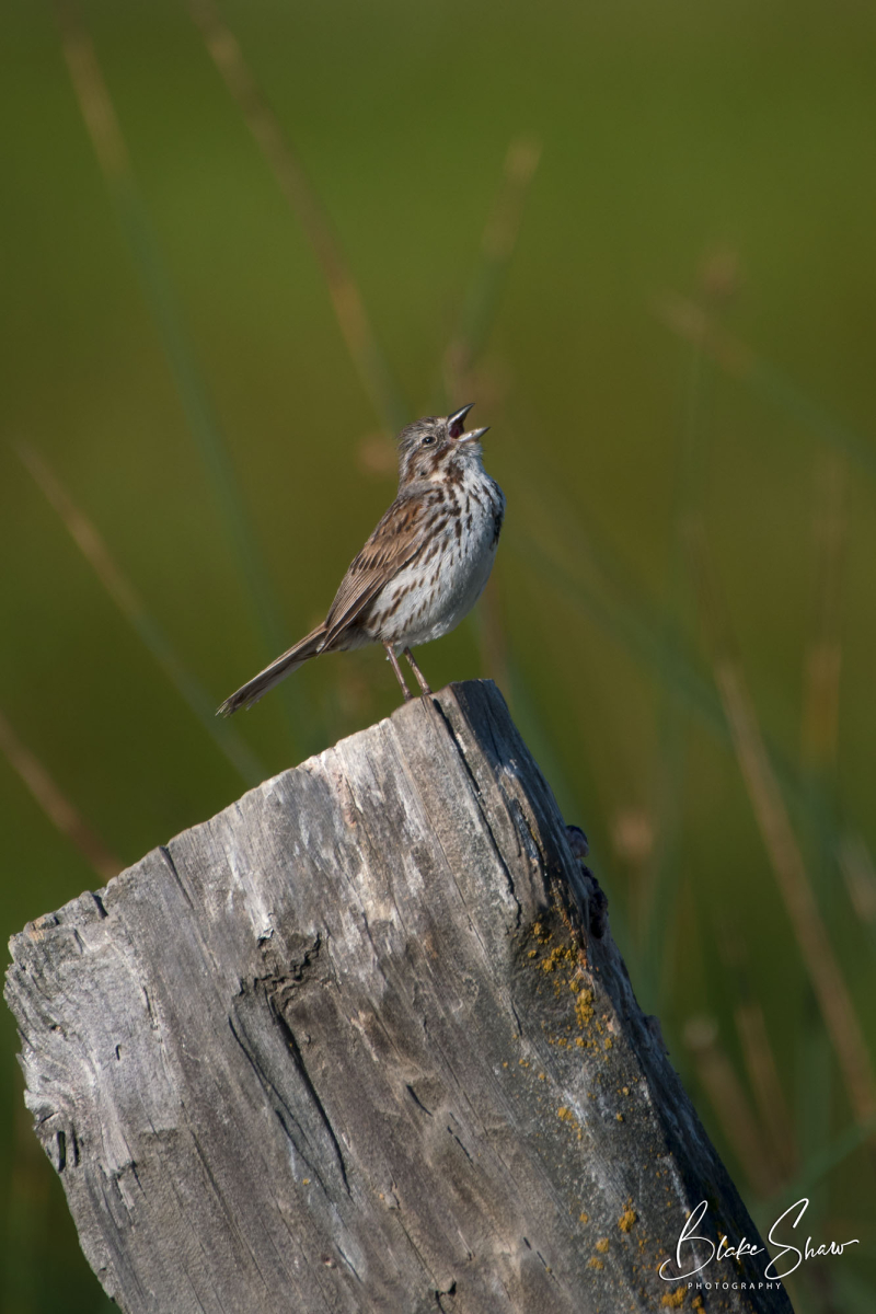 Song sparrow blake shaw