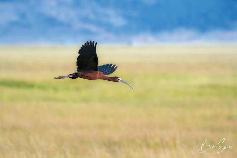 White-faced ibis sierra valley