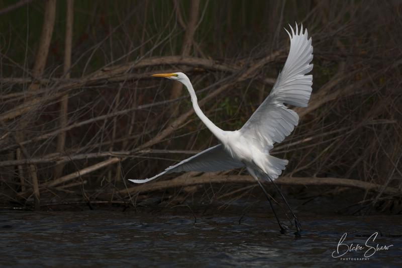 Great egret blake shaw 2