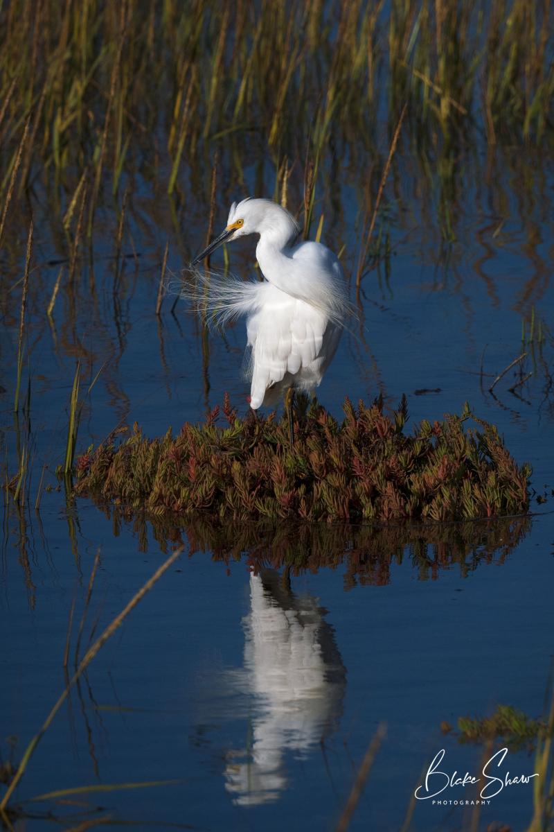 Snowy egret imperial beach copy