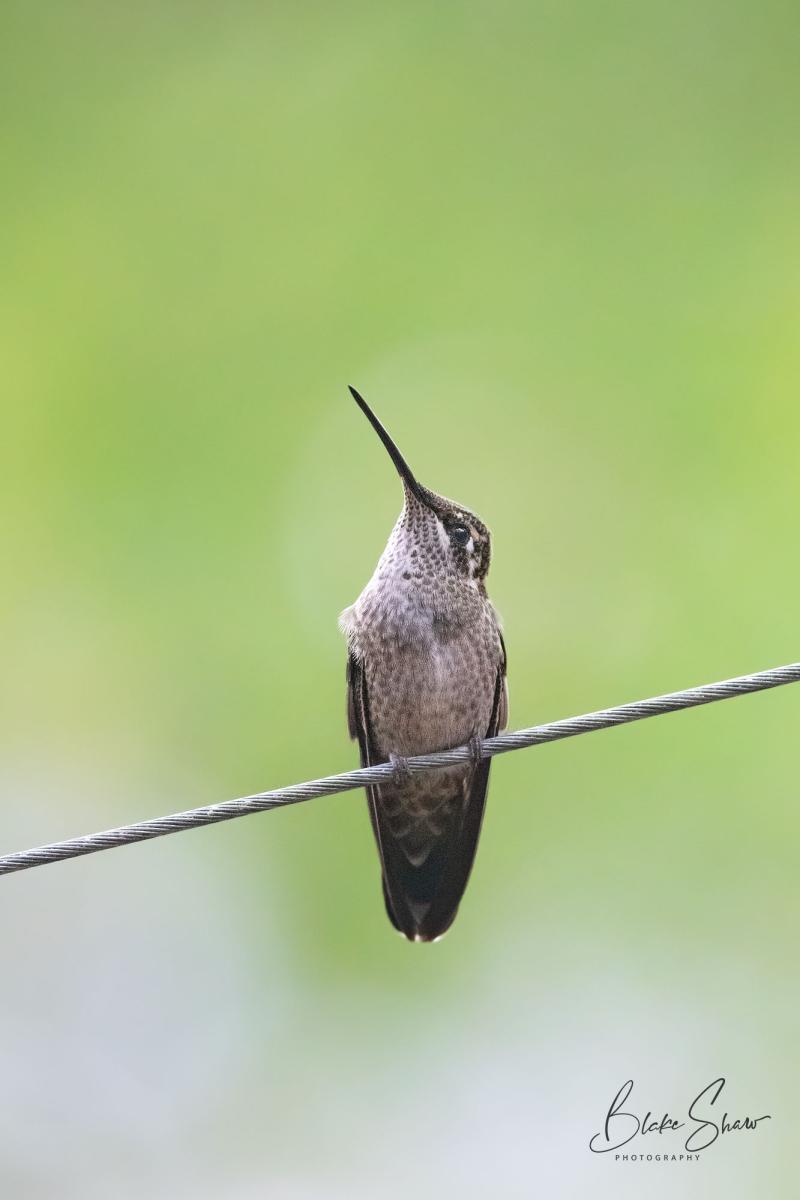 Rivoli's hummingbird az 7