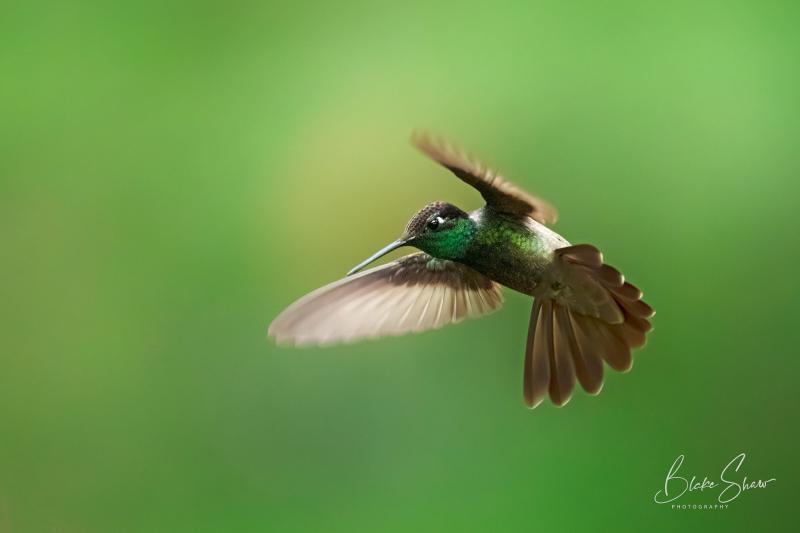 Rivoli's hummingbird 5