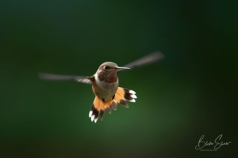 Rufous hummingbird ramsey canyon