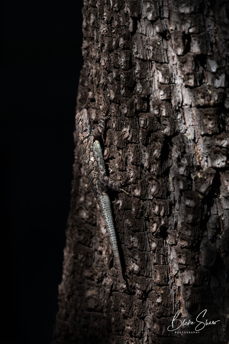 Lizard madera canyon