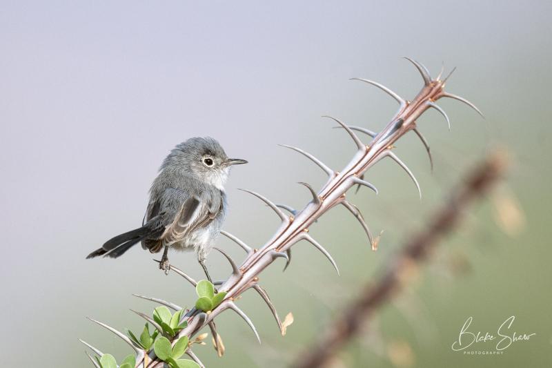 Black-tailed gnatcatcher borrego