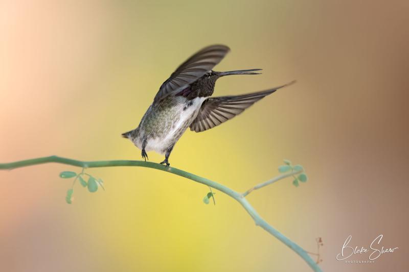 Costa's hummingbird borrego 2