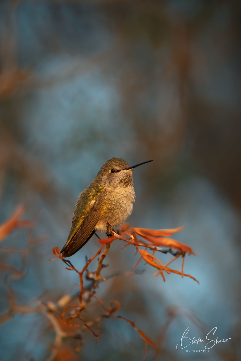 Anna's hummingbird borrego