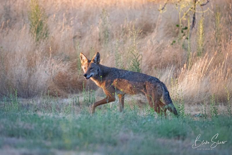 Coyote idyllwild blake shaw