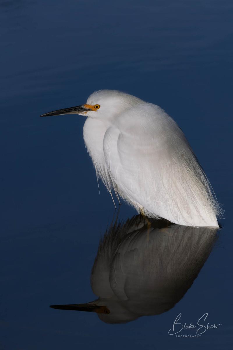 Snowy egret peñasquitos