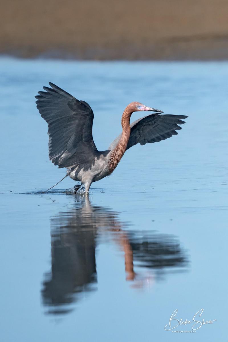 Reddish egret estero beach 3psd