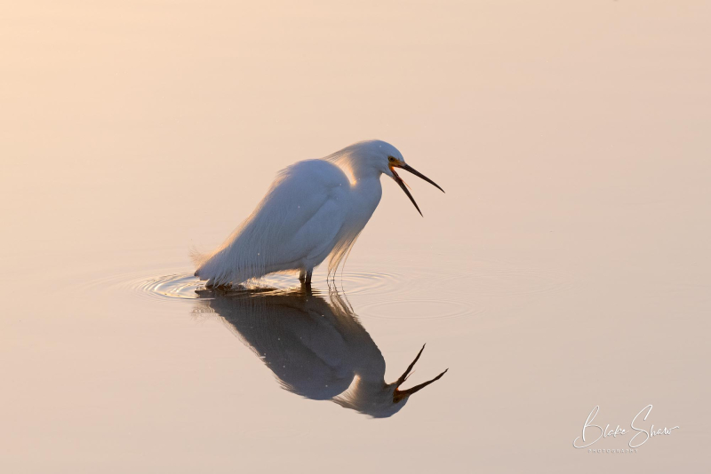 Snowy egret estero beach