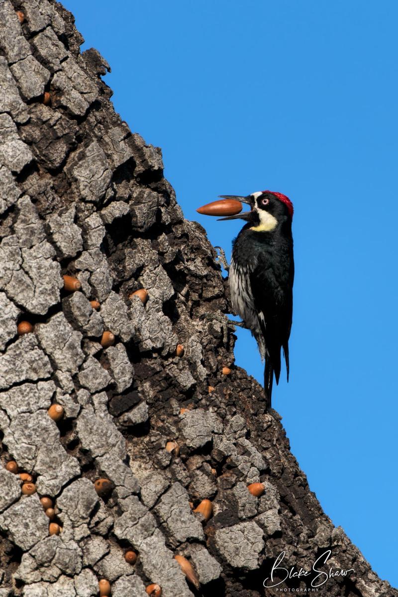 Acorn woodpecker blake shaw