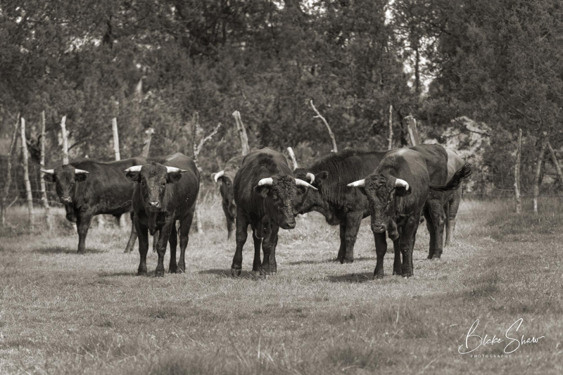Tepetzala bulls