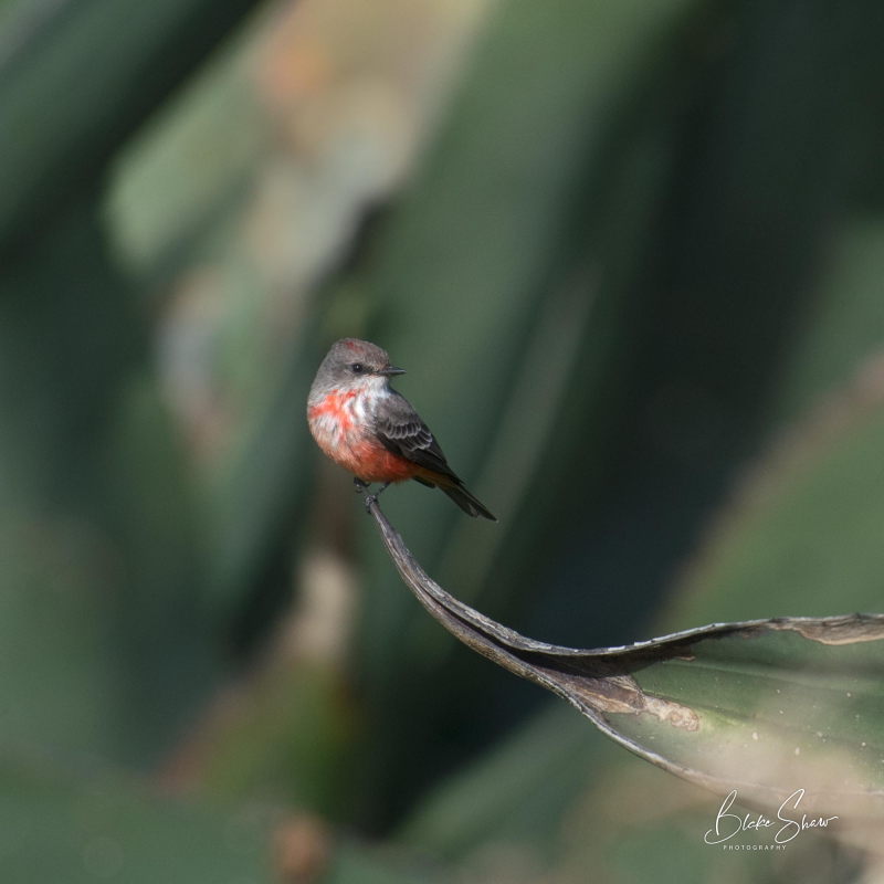 Vermilion flycatcher tepetzala