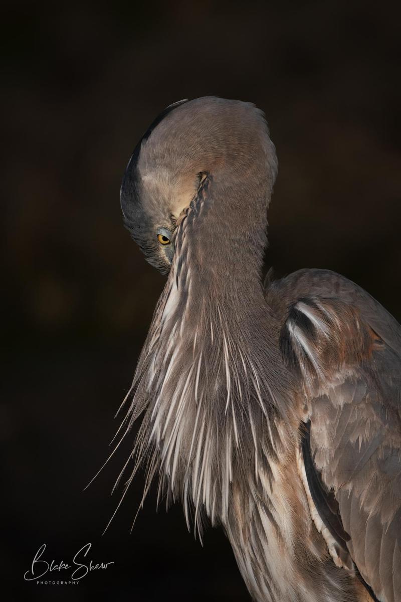 Great blue heron blake shaw