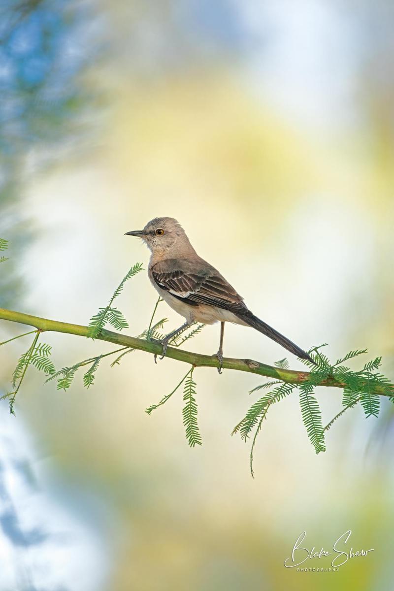Northern mockingbird blake shaw
