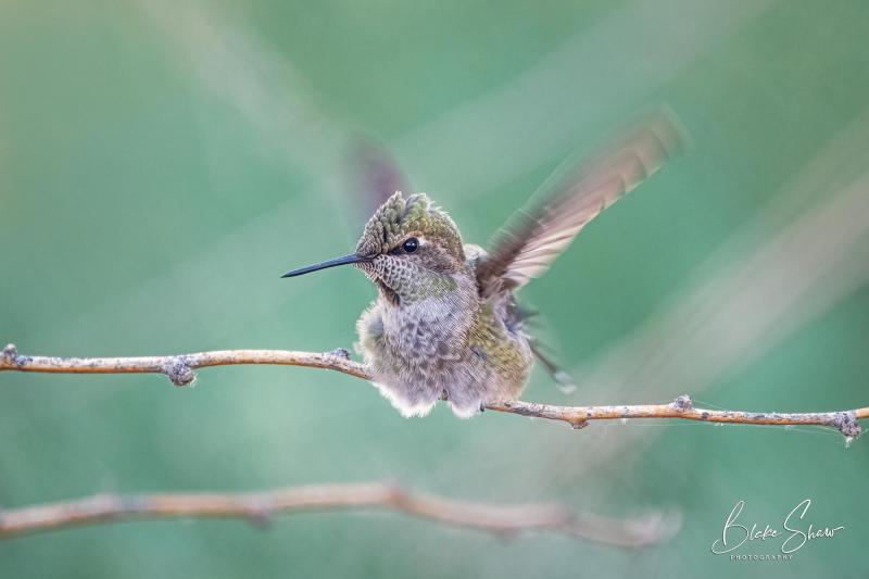 Anna's hummingbird blake shaw