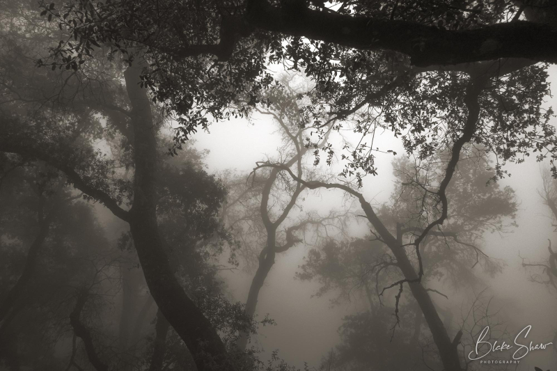 Palomar trees 1
