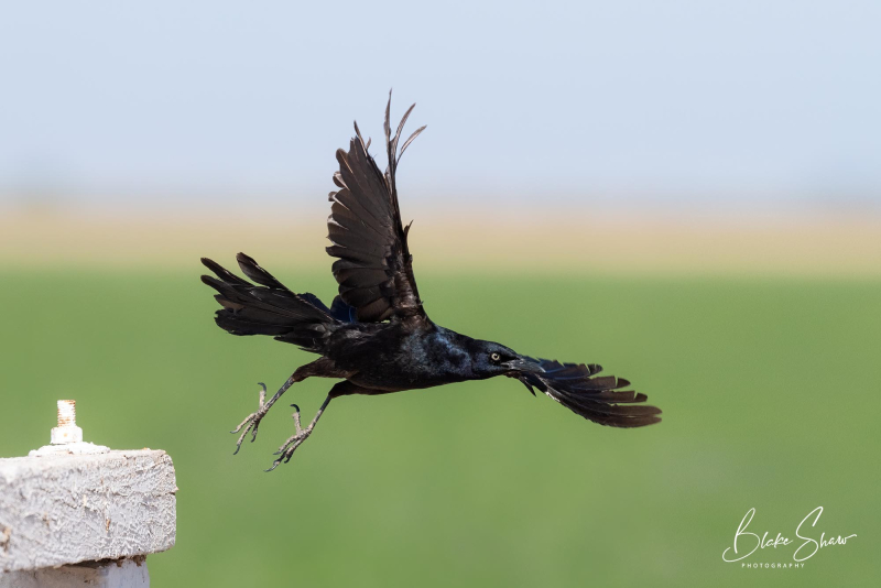 Great-tailed grackle blake shaw