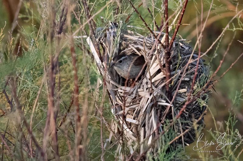 Marsh wren nest 2