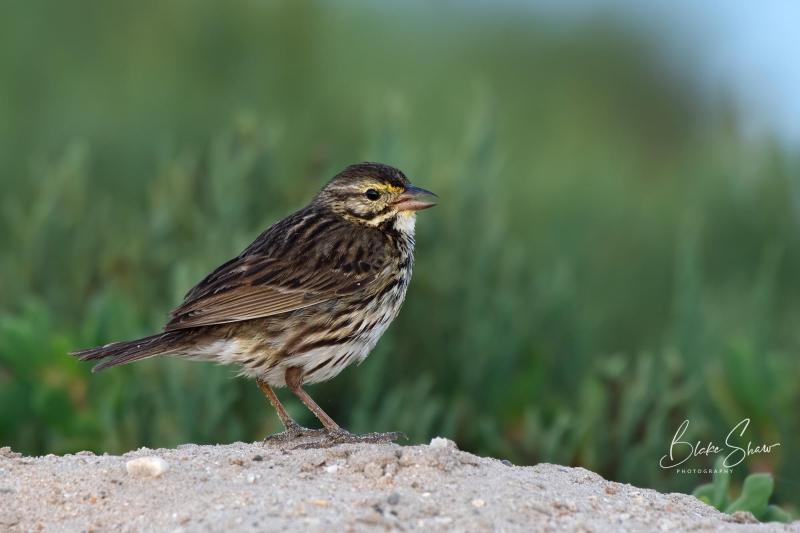 Savannah sparrow guerrero negro 2