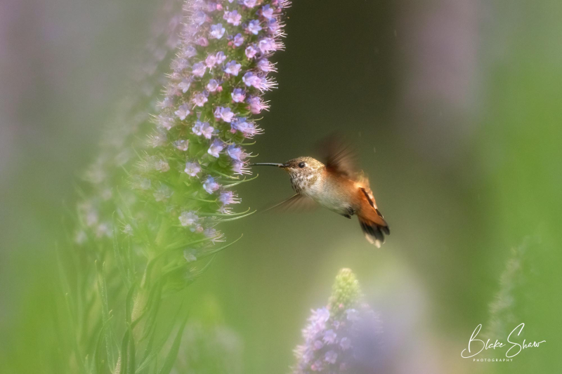 Allen's hummingbird blake shaw 4