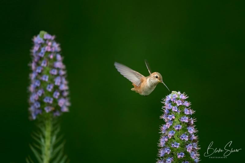 Allen's hummingbird blake shaw 2