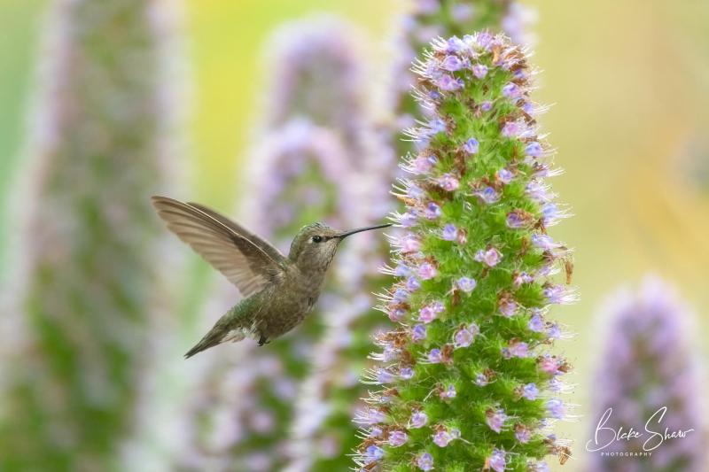 Anna's hummingbird blake shaw 2