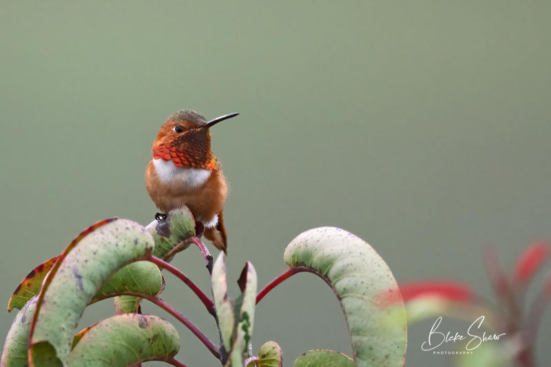 Allen's hummingbird blake shaw