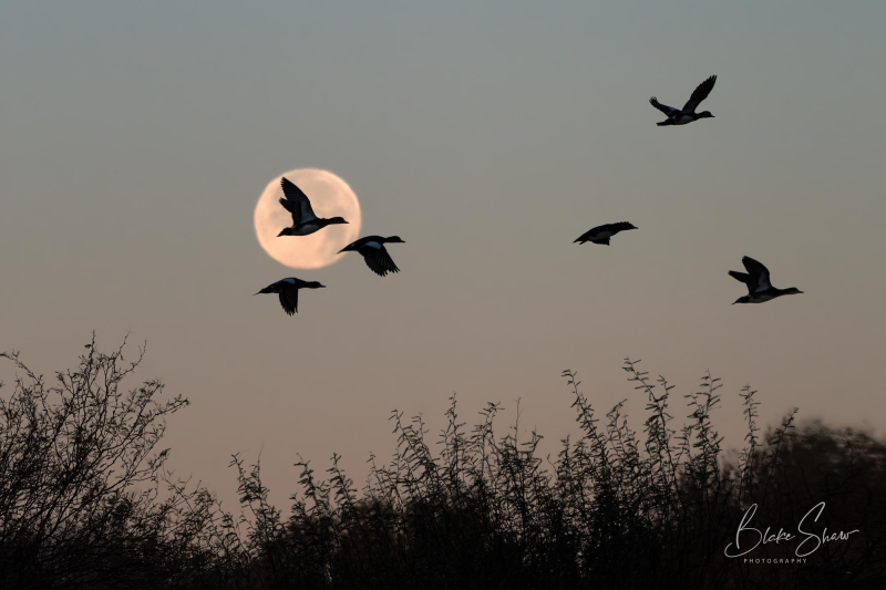 American wigeons and moon cibola