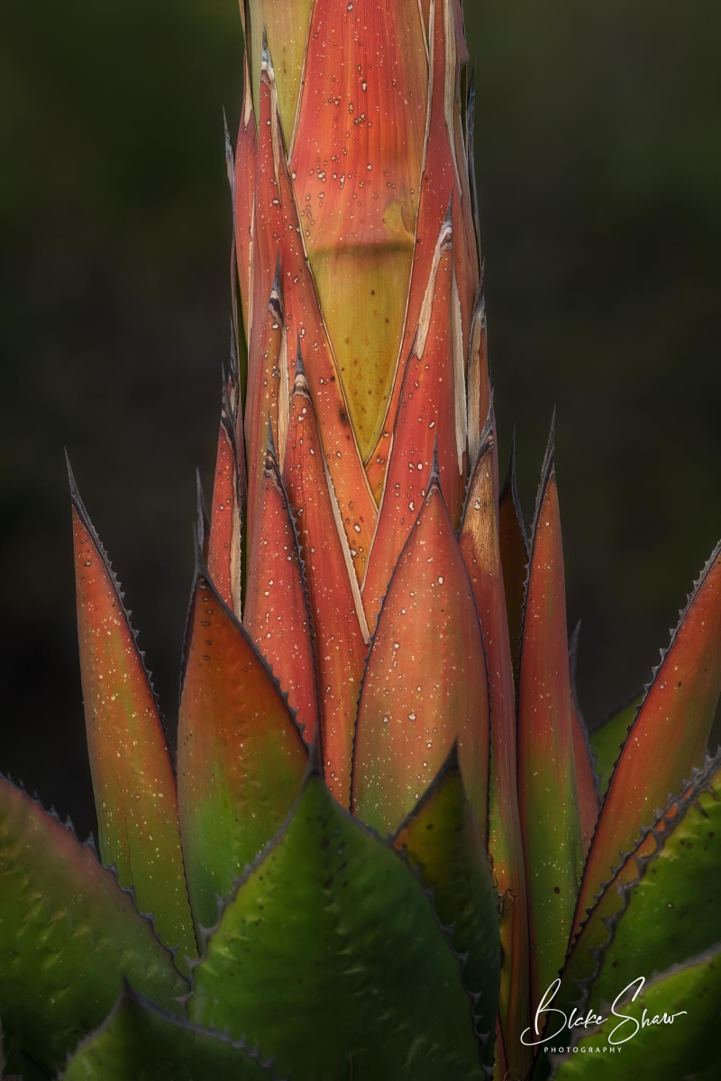 Agave tijuana slough blake shaw