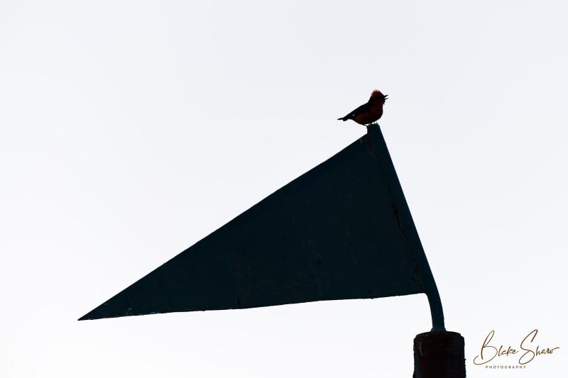 Vermilion flycatcher silhouette