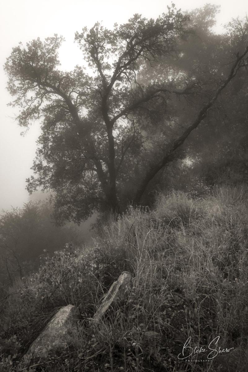 Palomar trees 3
