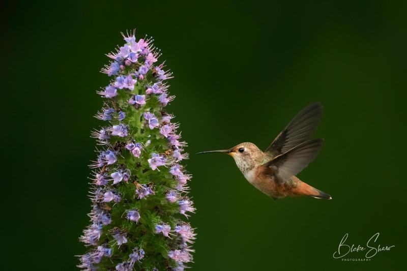 Allen's hummingbird blake shaw 3