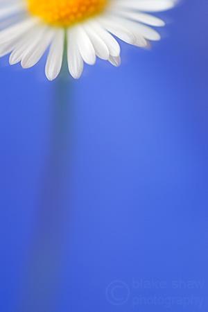 Daisy_on_blue2_copy_3