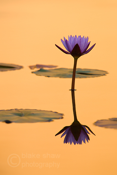 Water_lily_balboa_park_copy1