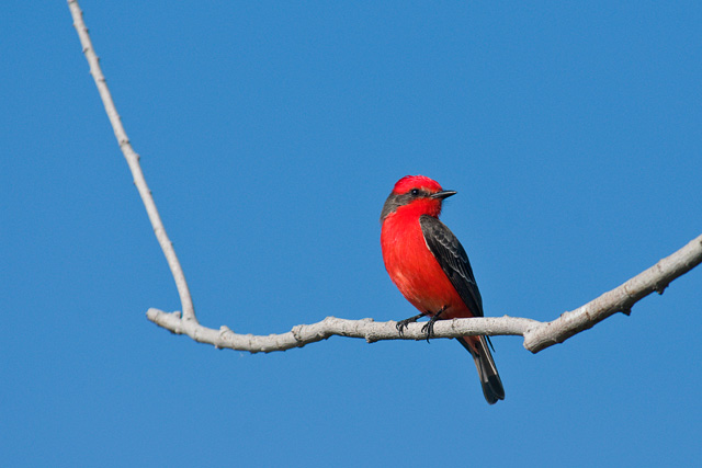 Vermillion_flycatcher_lindo_lake_2_